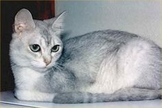 Aegean Cat.  Considered the only native breed of cat in Greece.