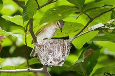 This Red-eyed Vireo nest makes great use of spider webs.Photo © Kelly Colgan Azar