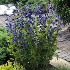 Baptisia australis | Baptisia australis | Colorful Blooms on Healthy Plants -Indigo