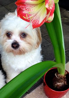 This is my little girl puppy Angel…she is a little love.