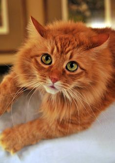 Long-haired orange cat with green eyes.