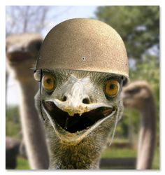 Australia's army once tried to fight a war against emus. The army lost. WHAT DO YOU THINK YOUR CHANCES WOULD BE? yummi stuff, war moment, embarrass failur, crack articl, ami board, andor yummi
