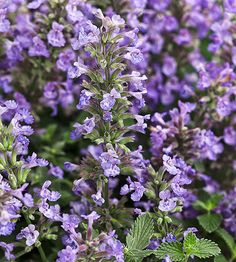Plant Name: Nepeta faassenii 'Cat's Meow' Growing Conditions: Full sun Size: 17–20 inches tall, 12–18 inches wide Zones: 3–8 Grow it with: Knock out roses Proven Winners from Walter's Gardens
