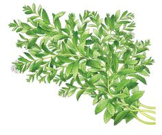 Growing Stevia Plant