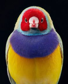 Congrats to @timflachphotography for his best bird shot of Gouldianfinch. Magnificent capture checkout his gallery.