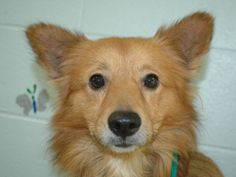 Ameer is an adoptable Corgi Dog in Kalamazoo, MI. Ameer is a brown male Corgi and Chow Chow mix. He is approximately 3 years, 1 month old. He weighs about 30 lbs. He has not been neutered. Ameer has a...