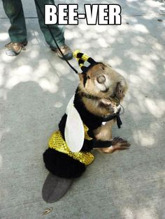 A little honey beaver bee…(( This is adorable))