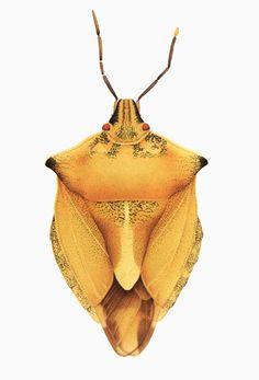 Tree bug from Slavoutich, Ukraine  Right feeler is disturbed.  Watercolor, Zürich 1991, Cornelia Hesse-Honegger