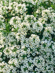 "Sweet Alyssum (Lobularia maritima) - forms a low, fragrant carpet to10"" tall. Blooms spring to fall - non-tolerant of extreme heat but ""Snow Princess"" tolerates the heat"
