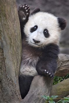 ~~The Way We Wu ~Panda Cub by Stinkersmell~~