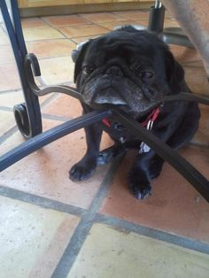 Everything in your house should be chin restable if you have a pug. sleepi pug, dogs, pug life, funny pugs, pet, hous, chin rest, puppi, dining room chairs