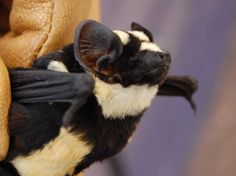 PANDA BAT  Researchers have hailed a bat that looks uncannily like a panda bear as 'the find of a lifetime'. The bat, discovered in South Sudan, is so rare researchers believe it is an entirely new genus. 'My attention was immediately drawn to the bat's strikingly beautiful and distinct pattern of spots and stripes,'