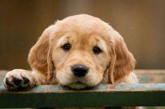 Yeah, me, too                                                        - Golden retriever pup