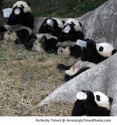 Baby panda drink milk