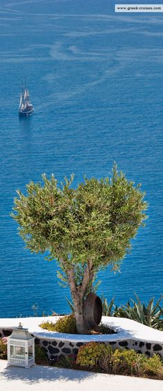 Olive tree in Santorini, Greece