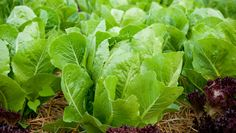 Can you grow vegetables in the shade? Yes, there is such a thing as a shade vegetable. Some vegetables prefer limited exposure to sunlight. But it's important to know which veggie needs what. Click through to find out so you can start planting. #shadegardens