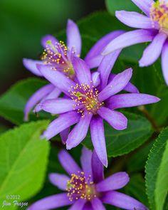 Lavender Starflower-Berry Tree (Grewia occidentalis) by SARhounds