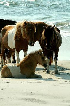 wild ponies, Assateague Island National Seashore, MD.