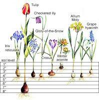 flower bulb, bloom flower, bulbs, spring bloom, flowers, dirt, garden, bulb plant, depth