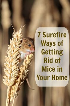 How to rid your home of mice.