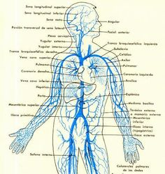 Sistema venoso tronco y brazos. sistema cardio, venoso tronco, sistema venoso