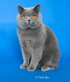 British Shorthair Grand Champion