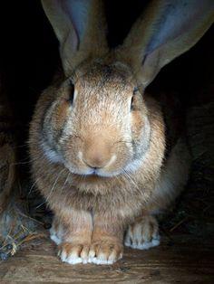 Sandy Flemish Giant rabbit.