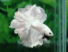 Rosetail Beta Fish