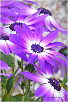 Lavender Senetti Daisies