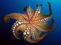 Octopus vulgaris - Common Octopus - Közönséges Polip by Miklos Volner on Flickr.  #Octopus #Cephalopods #Ocean #Sea #Aquatic