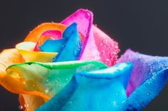 That's a colorful rose!
