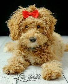 ... Goldendoodle and Labradoodle puppies in Michigan. Quailty Puppies