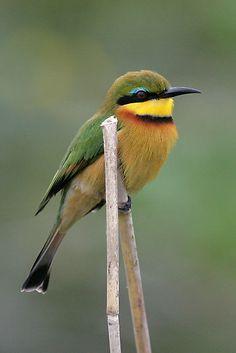 ☀Little Bee-Eater, Lower Zambezi, Zambia by Scotch Macaskill*