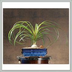 Ponytail Palm (Beaucarnea recurvata) #houseplant #plants