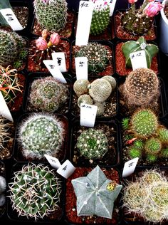 Cacti is the best in reducing radiation and bacteria. Cacti is very strong in eliminating bacteria.  In tackling pollution, cacti is also great at reducing radiation.  In addition, cacti absorbs carbon dioxide at night to release oxygen. Putting cacti in the room is helpful in sleeping and supplementing oxygen.