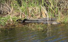gators in the glades | Flickr - Photo Sharing!