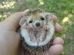 Baby Echidnae: No, not a hedgehog which is an insectivore or a porcupine which is a rodent, but an echidnae which is a monotreme (lays shelled eggs). They live in Australia and New Guinea, where there are neither hedgehogs nor porcupines.