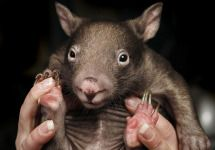 What's cute, solid and can run 100 metres in 10 seconds? A wombat!