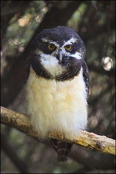 Owl... like penguin