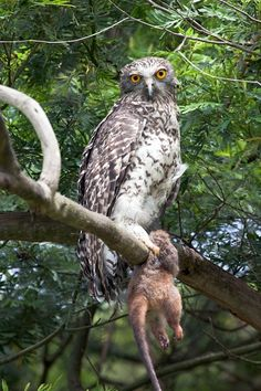 Powerful Owl (Ninox strenua) with prey. Photo by David Lochlin.