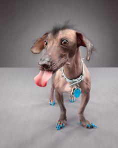 Blue nail polish on a hairless chihuahua. Hilarious!