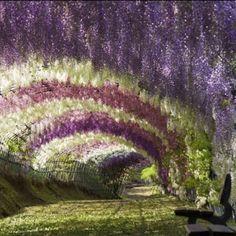 Purple, pink and white Wisteria arches.