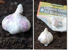 replanting garlic