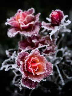 winter, designer handbags, snow, frost, roses, beauti, louis vuitton bags, designer bags, flower
