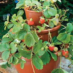 Grow a strawberry tower