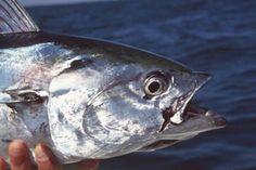 fli fish, fals albacor, bucket list, fish bucket, sea kayak
