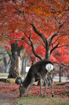 Deer and Japanese maple in autumn colors in Nara park.