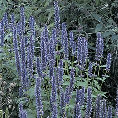 Agastache 'Blue Fortune'. I have always loved this plant. This should probably go in the front of my house.