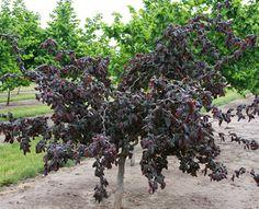 Klehm's Song Sparrow Farm and Nursery--Woody Plants--Corylus avellana 'Red Dragon' PP20,694