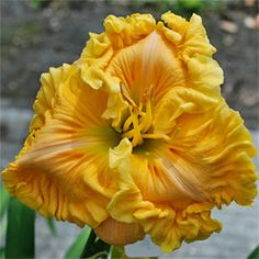 flore, daylilli, tuscan summer, mill garden, daylili tuscan, hemeroc, beauti flower